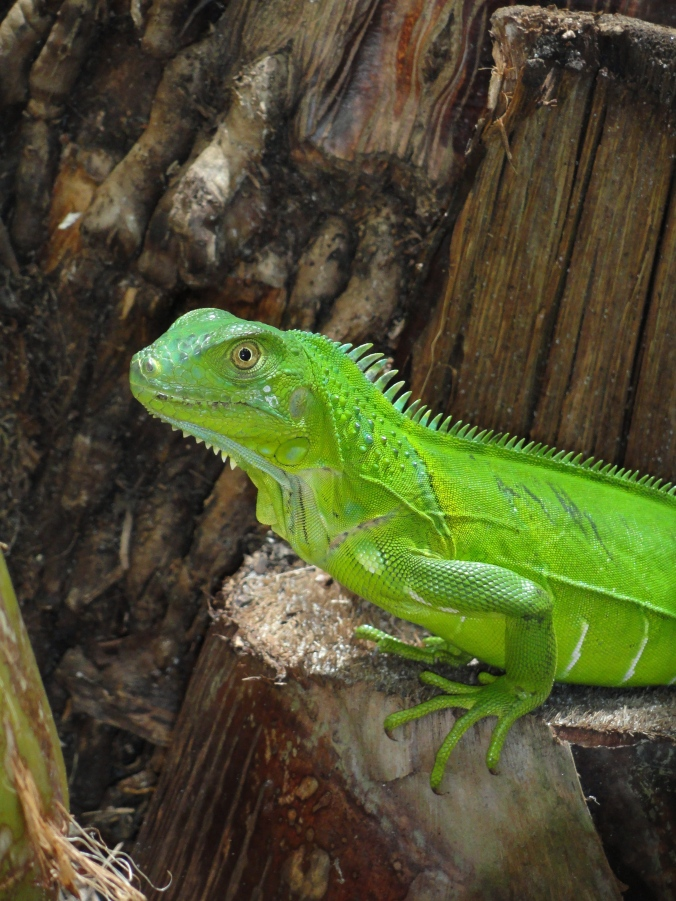 Green Iguana in Stuart, FL Photo by Tara Powers
