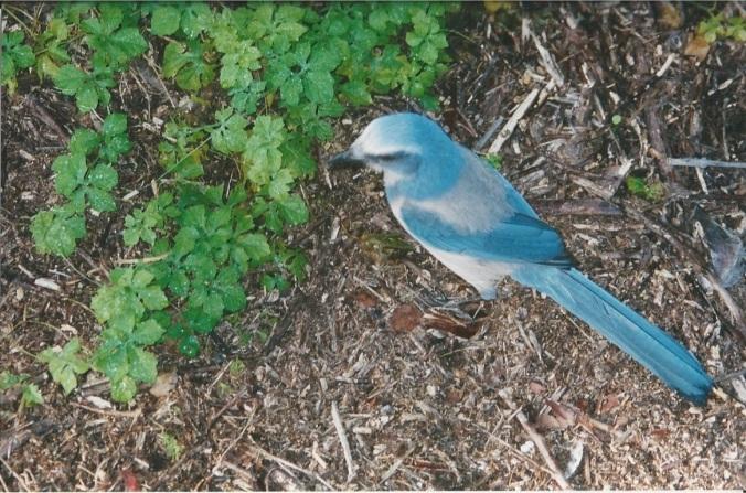 Scrub Jay 3 November 2001
