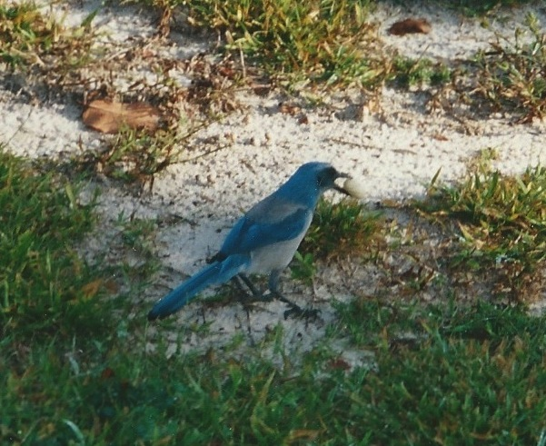Scrub Jay 5 November 2001 - Version 2