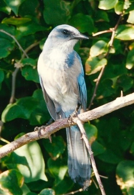 Scrub Jay November 2001 - Version 2